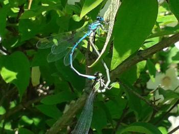 libellenpaarung.jpg
