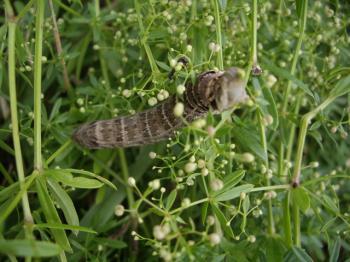 D.porcellus1a.JPG