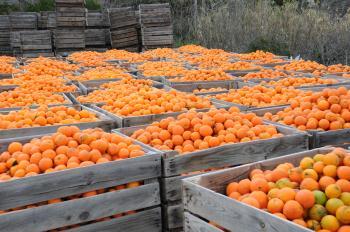 Orangenernte in Andalusien.jpg