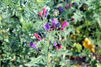 Natternkopf, Futterpflanze von U. pulchella 28.02.12.JPG