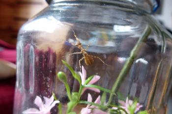 ceobroter gemmatus4.jpg