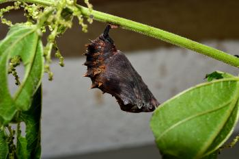 Hypolimnas bolina