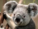 Koala (Custom).jpg