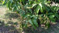 Mangoblüte