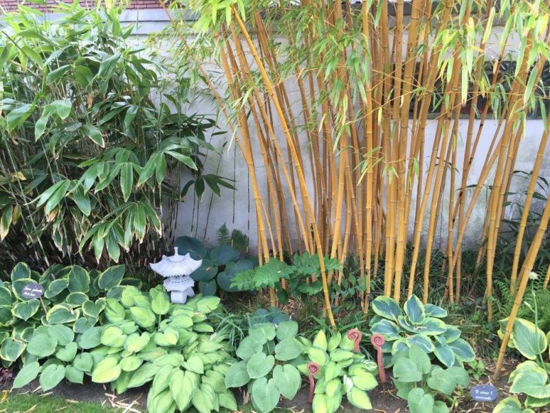 palmen und co bambus p vivax. Black Bedroom Furniture Sets. Home Design Ideas