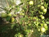 Cäsar-Apfel 3.JPG