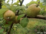Cäsars Äpfel 2014.JPG