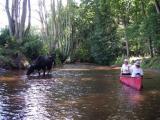 cows crossing_2.JPG