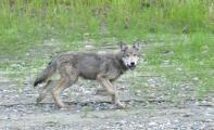 Junger-Wolf-am-Teslin-River-a22370345.jpg