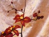 2008_1113Zuckerblumen0006.JPG
