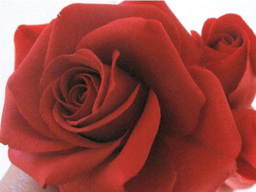 zucker kunstwerke rote rosen zum muttertag. Black Bedroom Furniture Sets. Home Design Ideas