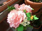 Pfingstrose Mai 2012 005.jpg
