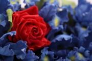 iris-blaue_lagune-detail_WZ_Größe ändern.JPG