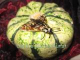 Motte auf Zierkürbis.jpg