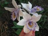 Cymbidium Orchidee 1.JPG