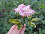Rose Nicole 2.jpg
