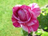 Rose Kolibri 2105.jpg