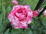 Kolibri Rose offen.jpg