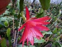 Rote Feder