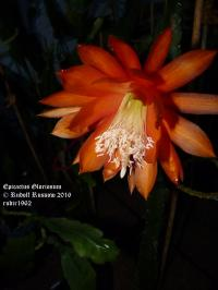 Gloriosum