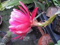 Medow Rose