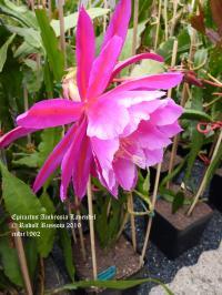 Ambrosia Lavendel