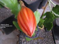 Fiesta de Flores