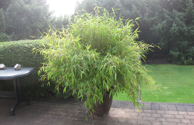 Forum re schirmbambus bambus im garten 2 for Garten forum