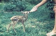 Bambi3.jpg