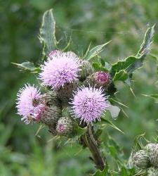 800px-Thistle_with_cuckoo_spit.jpg