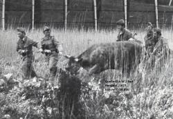 Bild15-1977_Kuh auf DDR-Gebiet.jpg