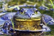 280px-Bullfrog_-_natures_pics.jpg