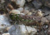 maculatus1.jpg