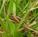 1 Fr Nachtigall-Grashuepfer Chorthippus biguttulus, wegen des charakteristischen S-förmigen Schwung am hinteren Unterrand der Fluege lP1080769.JPG