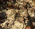 1P1110040 Italienische Schoenschrecke-Calliptamus italicus W.JPG