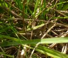 1zP1090626 frage Bunter Grashuepfer Omocestus viridulus.JPG
