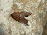 11P1100778 Scoliopteryx libatrix -Zackeneule.JPG