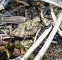 1P1130717 tenuicornis frage.JPG