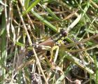 CIMG0426-Miramella alpina Alpine Gebirgsschrecke frage AS.jpg
