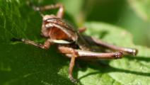 2011-4-20 Pholidoptera 052A.jpg