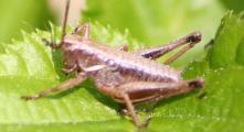2011-4-20 Pholidoptera4 084A.jpg