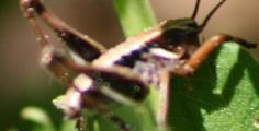 2011-4-20 Pholidoptera2 069A.JPG