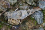Schrecken Oedipoda caerulescens 7-8-10 B1.JPG