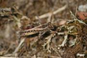 Calliptamus italicus A 11-7-13 Weingarten 021.jpg
