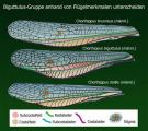 Chorthippus biguttulus Gruppe Flügelvergleich.JPG