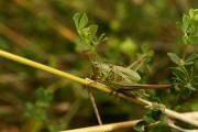 Metrioptera bicolor M.jpg