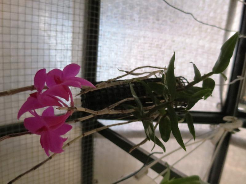 2015-06-04 Dendrobium sulawesii Thannhauser (9).JPG