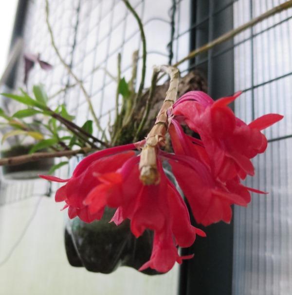 2015-07-16  Dendrobium lawesii  BÄRBL  (2).JPG