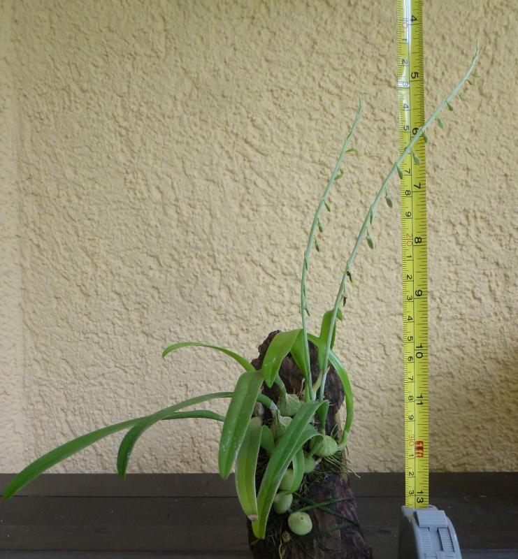 Bulb. nigrescens  (1).JPG