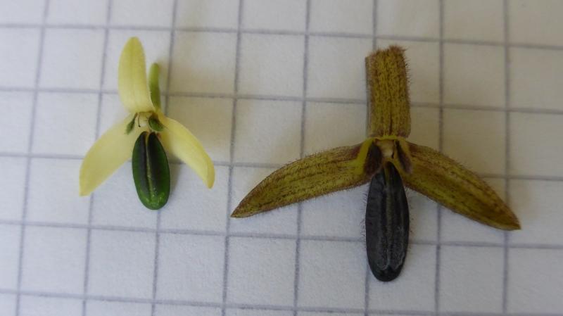 Bulb. anguste-ellepticum 3 (left) + nigrescens 2 (right) (2).JPG